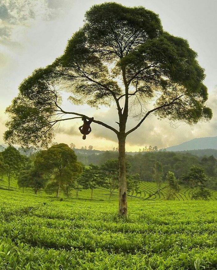 tempat wisata bandung kebun teh sukawana